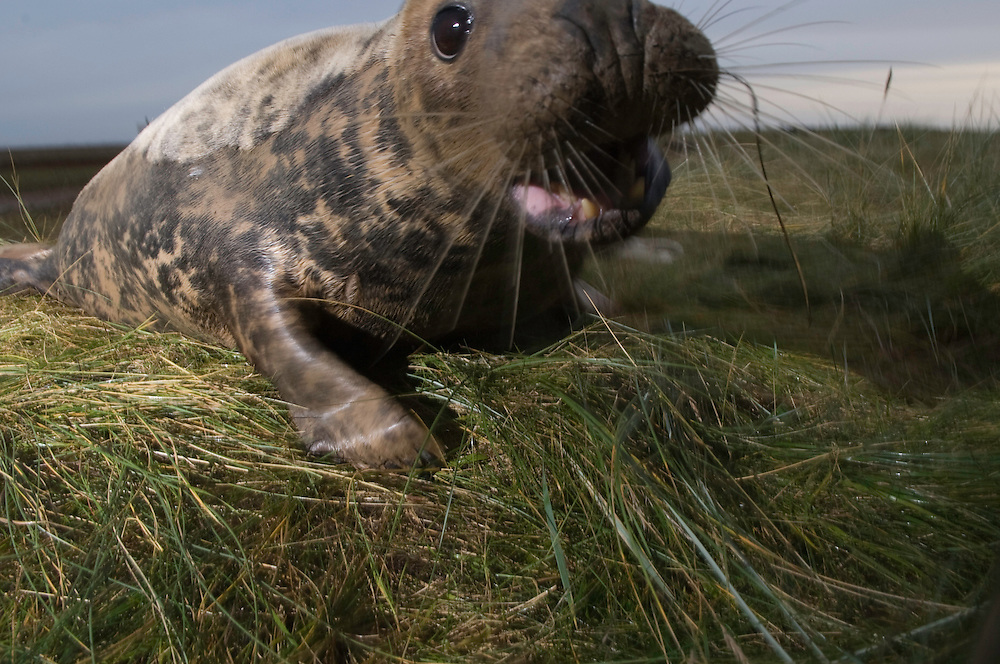 Grey seal (Halichoerus grypus) at Donna Nook, Lincolnshire, United Kingdom. Mission Wild Wonders of Europe, November 2008