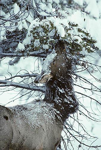Elk, (Cervus elaphus) cow browsing on pine needles of lodgepole pine. Winter.