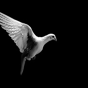 White homing pigeons photographed in flight at the loft of Kip Sulham in Lexington, Ky., on 5/11/10. Photo by David Stephenson