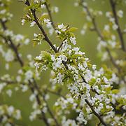 White cherry blossoms in Spring - NE Tacoma