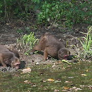Drinking Stump-tailed macaques (Macaca arctoides) have thick, long, dark brown fur covering their bodies and short tails. Stump-tailed macaques have bright pink or red faces which darken to brown or nearly black as they age and are exposed to sunlight. They are covered with long, shaggy fur, but their short tails and faces are hairless and they go bald with age.