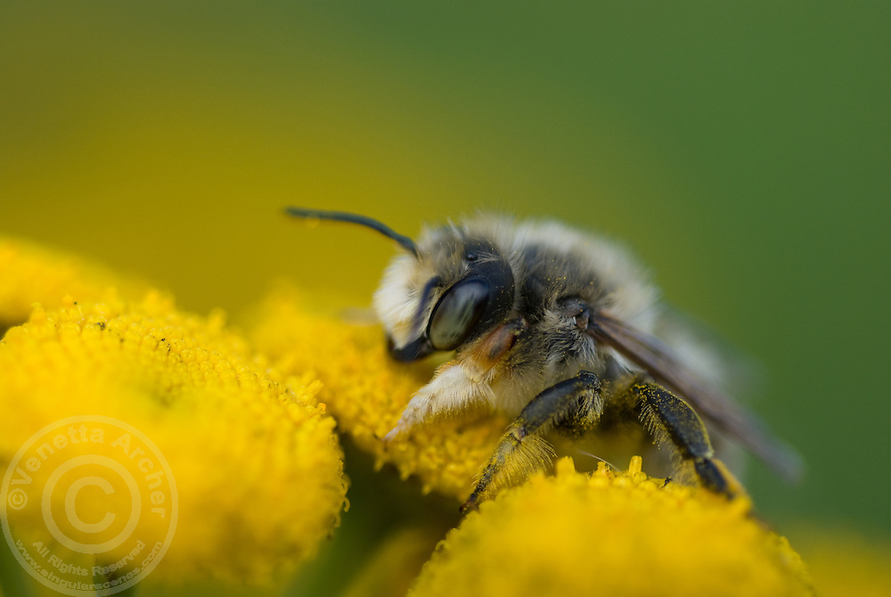 Close-up of honey bee covered in yellow pollen.