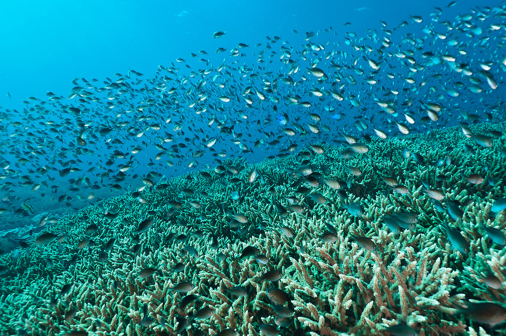 School of damselfish above healthy hard corals, Cendrewasih Bay, West Papua, Indonesia.