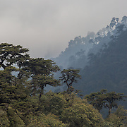 Trees shrouded in mist alongside the Wangdue Phodrang - Trongsa Highway, Bhutan