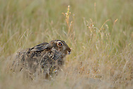 European hare, Lepus europaeus, Eastern Rhodope mountains, Bulgaria