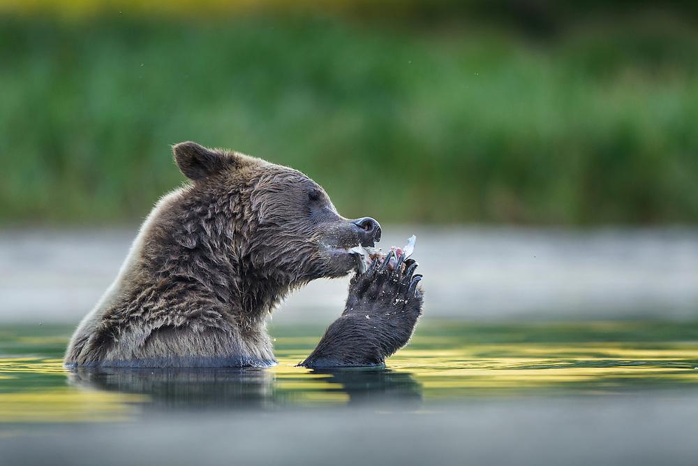USA, Alaska, Katmai National Park, Coastal Brown Bear (Ursus arctos) eating remains of salmon pulled from bottom of spawning stream along Kuliak Bay