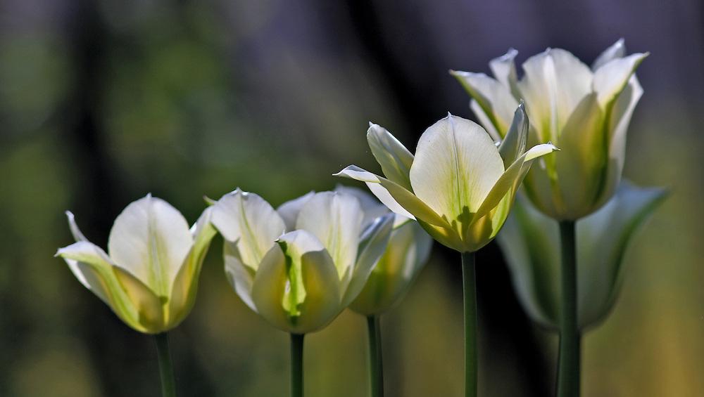 White Tulips in morning light.