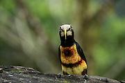 Pale-Mandibled Aracari (Pteroglossus erythropygius)<br /> Mashpi Rainforest Biodiversity Reserve<br /> Pichincha<br /> Ecuador<br /> South America