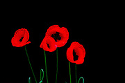 Back lit red poppy flowers on black background