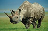 Black rhinoceros, Diceros bicornis, Ngorongoro, Tanzania