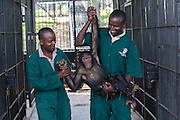 Female infant chimp, Sara, is carried by care givers after being sedated so Ngamba's veterinarian, Dr Joshua Rukundo, could examine and treat pox in her mouth at the  Ngamba Island Chimpanzee Sanctuary in Lake Victoria, Uganda. Sara, who has been on Ngamba Island since 2012, is a little chimp with a clear face. She was confiscated from a trader in Southern Sudan. At the time of her arrival, she was in a bad condition. Her eyes were puffy due to dehydration and she had a big hard stomach with no hair on it.<br /> She pretty much wants to own everything, she screams until she is given what she wants including sticks and all other small enrichment materials. When she is scared, Sara runs to her surrogate mother, Connie. She likes riding on Connie&rsquo;s back. 03/15 Julia Cumes/IFAW