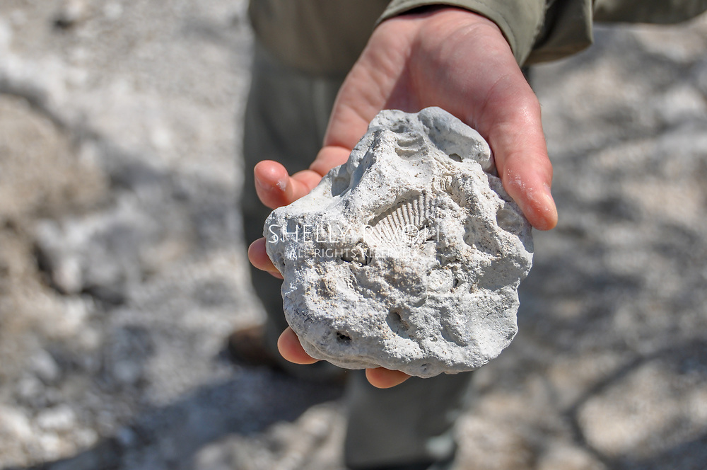Close up of man's hand holding sea shell fossils in sandy limestone cap rock in Big Cypress National Preserve, Florida. Model released.
