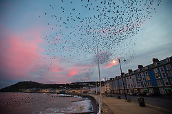 © London News Pictures. 28/12/2015 Aberystwyth, Wales, UK. Just before sunrise on a fine clear December morning, thousands of tiny starlings fill the sky as they fly out to their feeding grounds en masse from their overnight roost under the Pier in Aberystwyth on the west wales coast. Photo credit: Keith Morris/LNP