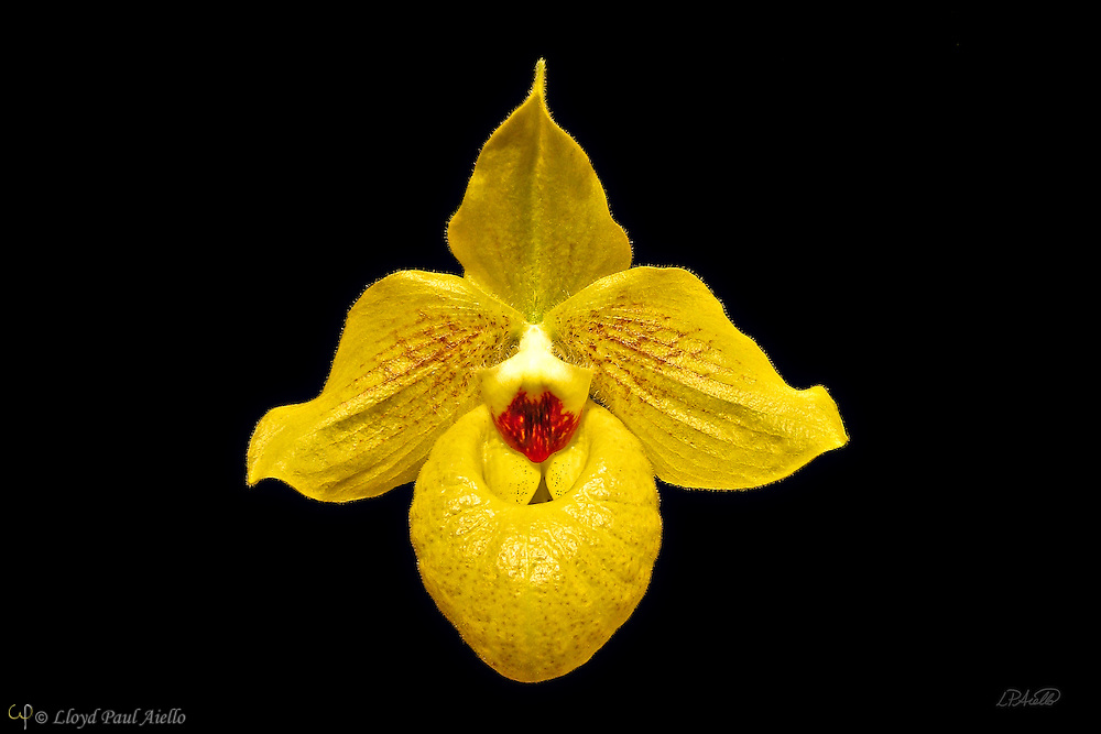 A yellow paphiopedilum orchid blooms at the New England Flower Show in Boston, MA
