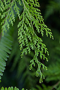 Lace Fern, Palaa, Sphenomeris-Chusana, Kula Botanical Garden, Upcountry, Maui, Hawaii