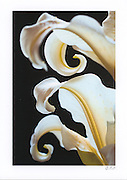 Greeting card with photograph of 2 Asiatic Lilies individually printed on archival card stock in vivid color