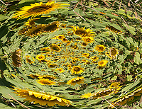 sunflowers rise from fluid shape in vortex with green leaves and green and brown shades