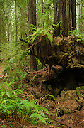 A fallen redwood tree (Sequoia sempervirens) and yong trees, Armstrong Redwoods State Natural Reserve, California