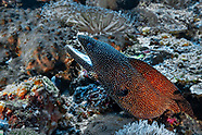 Turkey moray (Gymnothorax meleagris)