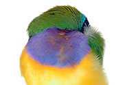 Sleeping Gouldian (Chloebia gouldiae); head hidden in the plumage; Gouldian belong to the family of Estrildid finches (Eurylaimidae) are about the size of sparrows, the country of origin is Australia, there are only a few wild specimens, they are among the endangered species. Worldwide this type is kept for their colourfulness as an ornamental bird. There are three variants of the head plumage color: red, yellow and black. Scientific experiments suggest that there is a relationship between color and behavior: Estrildid finches with red colouration of the head should be aggressive, black brave and yellow rather unimpressive. Names giver was the British naturalist and wildlife painter John Gould, who described the specie scientifically 1844. Photographed at a breeder in Goettingen / Schlafende Gouldamadine (Chloebia gouldiae); Kopf im Gefieder verborgen; Gouldamadine gehoeren zur Familie der Prachtfinken (Eurylaimidae); sind etwa so gross wie Spatzen; Herkunftsland ist Australien, es gibt nur noch wenige wildlebende Exemplare; gehoeren zu den bedrohten Arten. Weltweit wird diese Art wegen ihrer Farbenpraechtigkeit als Ziervogel gehalten. Es gibt drei Farbvarianten des Kopfgefieders: rot, gelb und schwarz. Wissenschaftliche Experimente lassen vermuten, dass es einen Zusammenhang zwischen Farbe und Verhalten gibt: Prachtfinken mit einer roten Kopffaerbung sollen aggressiv sein, schwarze mutig und gelbe eher unscheinbar. Namensgebend war der britische Naturforscher und Tiermaler John Gould, der die Art 1844 wissenschaftlich beschrieb. Fotografiert bei einem Zuechter in Goettingen