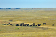Plains bisons (Bison bison) in grasslands<br />Grasslands National Park<br />Saskatchewan<br />Canada