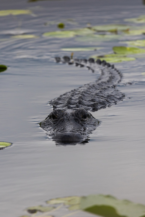 September 28, 2017: An American alligator swims through a pond at Everglades National Park in Flamingo, FL. (www.douglasjonesphotography.com)