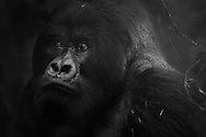 Guhonda, the world's largest mountain gorilla silverback, Volcanoes National Park, Rwanda.