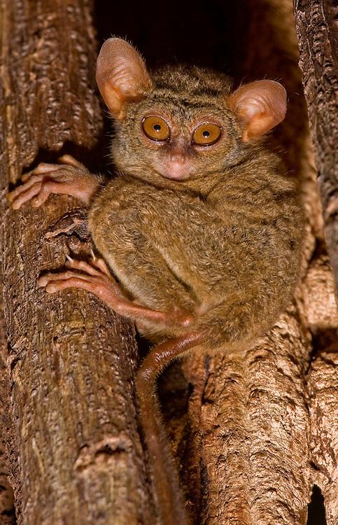 spectral tarsier - Tarsius tarsier - in a tree hole in north Sulawesi
