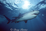 tiger shark, Galeocerdo cuvier, Bahamas ( Western Atlantic Ocean )