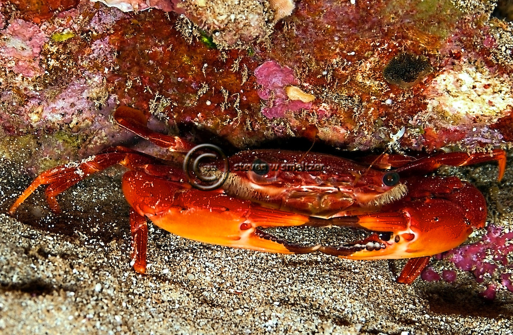 Red Swimming Crab, Gonioinfradens paucidentata, Night dive, Sheraton Reef, Maui Hawaii