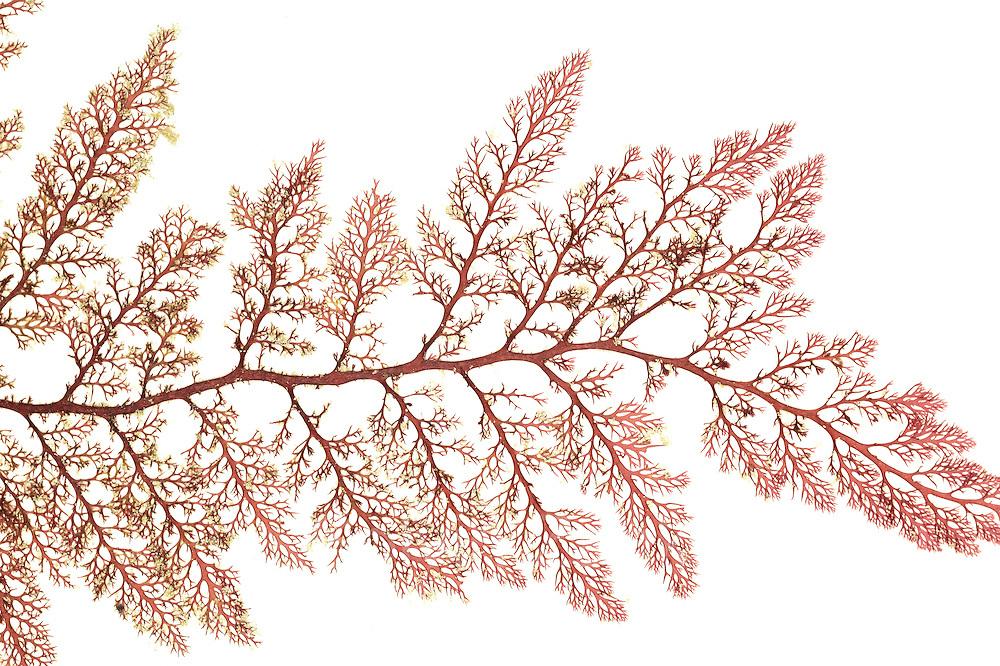 Red algae (Microcladia coulteri), Brady's beach,Bamfield ,Vancouver, Canada, Pacific | AFP 748 Herbarium Akira Peters
