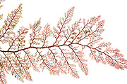 Red algae (Microcladia coulteri), Brady's beach,Bamfield ,Vancouver, Canada, Pacific | AFP 748 Herbarium Akira Peters