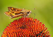 Skipper on Echinacea