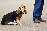A basset hound seen in Hyde Park, London