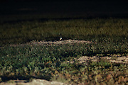 A Black-footed ferret peers from a burrow during a nightime field survey in the Conata Basin in South Dakota, U.S. Ferrets are located using spotlights and the reflective qualities of their eyes.