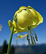 "A yellow flower of a Glacier Lily grows on Scorpion Mountain, a hike (9 miles round trip, 2500 feet total gain) near Skykomish, US Highway 2, Washington, USA. Published in ""Light Travel: Photography on the Go"" by Tom Dempsey 2009, 2010."