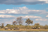 Elephants right after coming out of the water in front of Savuti camp, Linyanti concession, Botswana