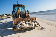12, 29, 2015,  cleanup workers pick up dead black drum fish and other animals washed up along the beached in Hancock County during an on going fish kill event casued by a red tide. A red tide ( toxic algae growth)  was blaimed for a fish kill event that also killed many ducks and some mammals along beaches in Mississippi along the Gulf of Mexico that started at the deginning of December and continued through the end of the month. Warming tempatures caused by climate change,  make 'red tide' conditions a growing problem on the Gulf Coast.