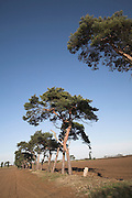 Scots Pine trees, ancient field boundary in sandy soil of Suffolk Sandlings, Butley, Suffolk, England