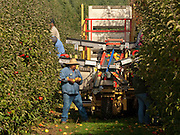 Harvesting Jonagold apples at Oregon Heritge Farm near Newberg, Willamette Valley, Oregon