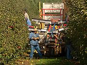 Harvesting Jonagold apples at Oregon Heritge Farm near Newberg, Willamette Valley, Oregon