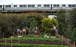 As a BART train rumbles by behind them, students harvest greens for local restaurants at an urban farm run by Game Theory Academy in west Oakland, Calif., Wednesday, May 20, 2015. Area high school students learn about farming as a business, including skills that can be applied to other vocations. (Photo by D. Ross Cameron)