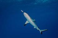 Carcharhinus amblyrhynchos (Grey Reef Shark)