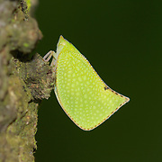 Green Plant Hopper - Acanalonia conica