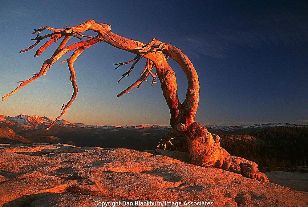 Iconic Jeffrey Pine Atop Sentinal Dome in Yosemite National Park California
