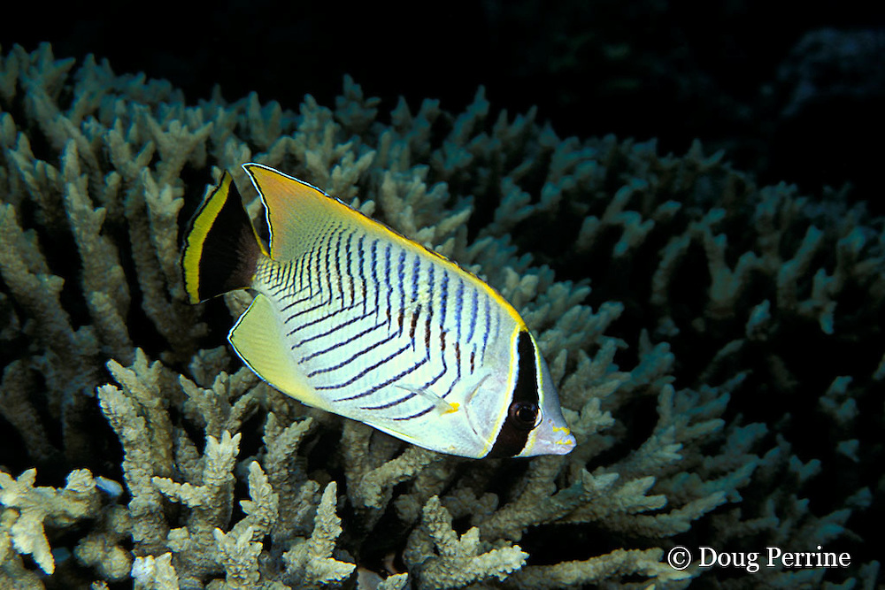 chevron or chevroned butterflyfish, Chaetodon trifascialis, Great Barrier Reef, Australia ( Western Pacific Ocean )
