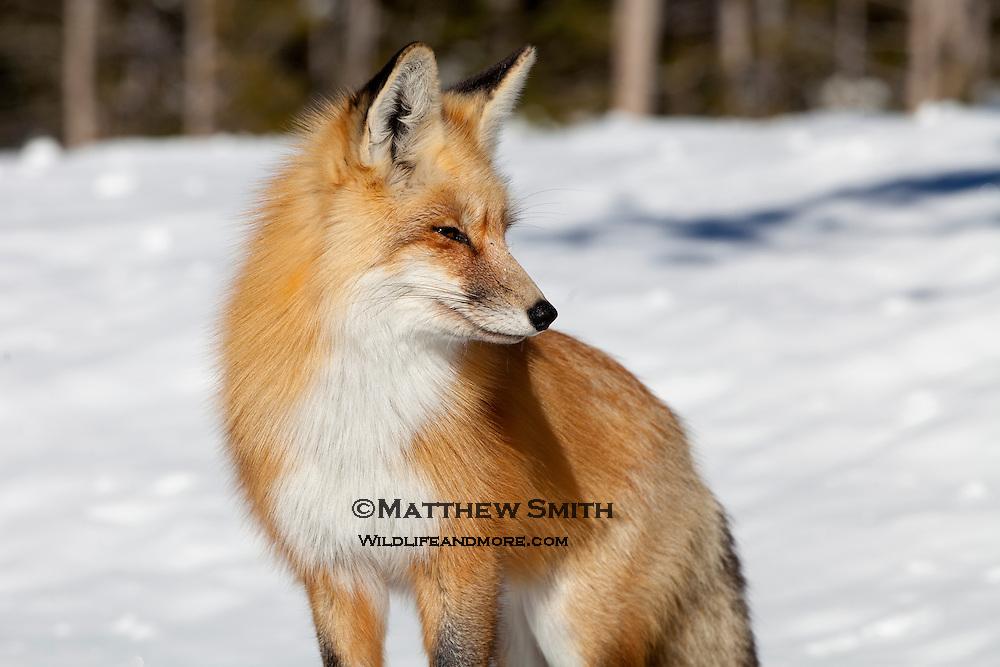 Fox in Grand Teton National Park Wyoming