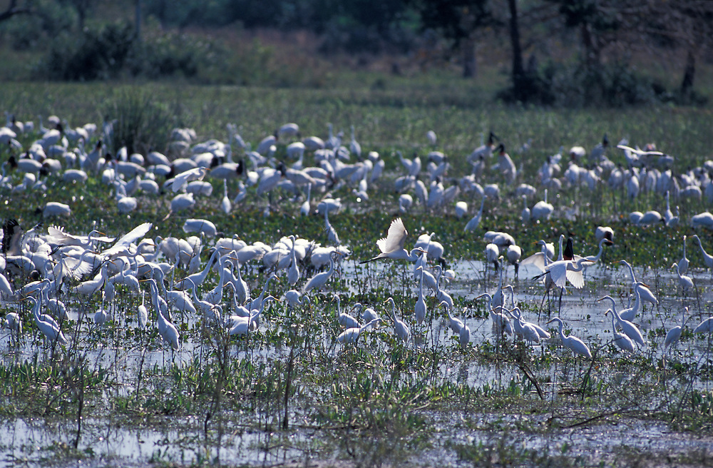 Waterbirds feeding along Transpantaneira Road, Pantanal, South of Cuiaba, Mato Gross, Brazil