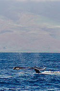 Humpback Whale, Megaptera novaeangliae, Tail Wave 6 of 8, Maui Hawaii