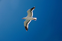 21 July 2007: A white seagull fly's overhead in the San Francisco Bay, CA.